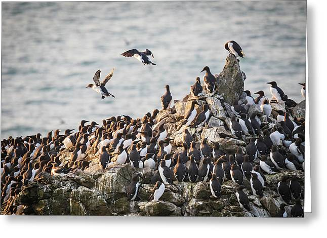 Greeting Card featuring the photograph Guillemot's On Stack Rocks by Elliott Coleman
