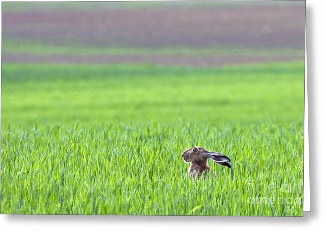 Hare Sitting In The Grass On The Field Greeting Card