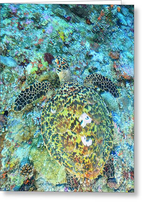 Hawksbill Sea Turtle, North Huvadhoo Greeting Card by Stuart Westmorland