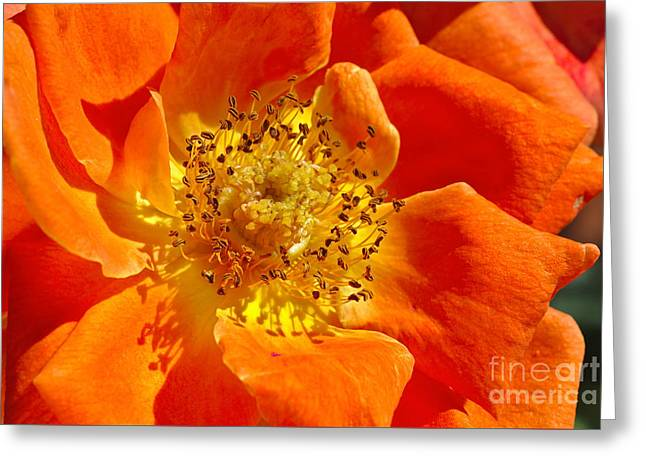 Heart Of The Orange Rose Greeting Card