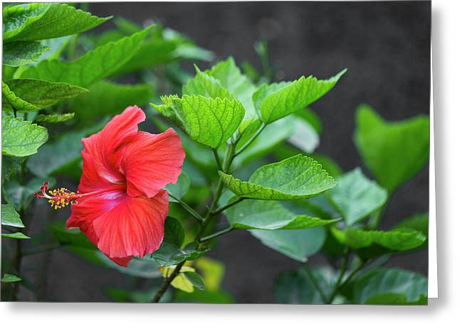 Heartwarming Hibiscus  Greeting Card