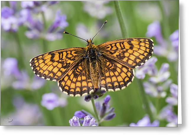 Heath Fritillary On The Lavender Greeting Card