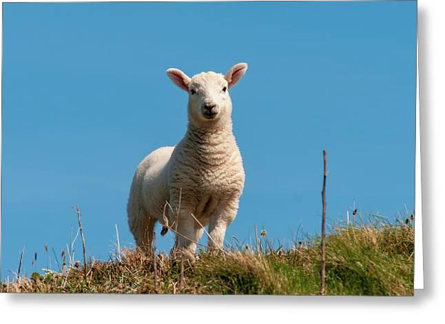 Hebridean Lamb Greeting Card
