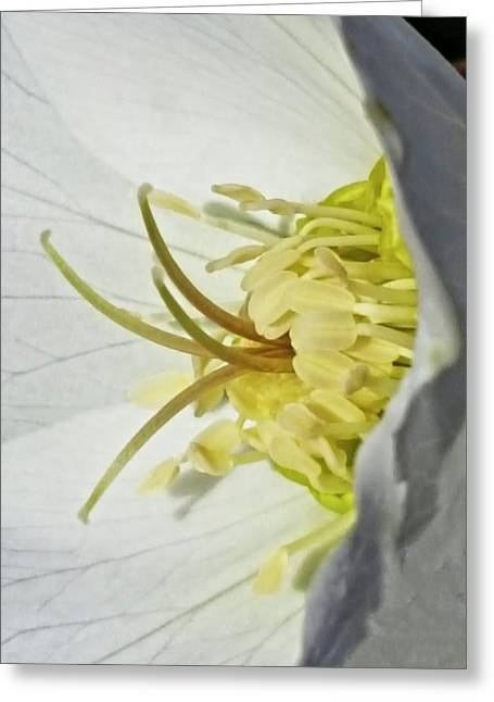 Helleborus Reproductive Structures 40 Greeting Card