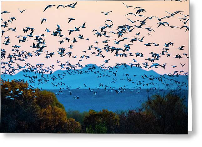 Herd Of Snow Geese In Flight, Soccoro Greeting Card