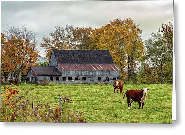 Herefords In Fall Greeting Card