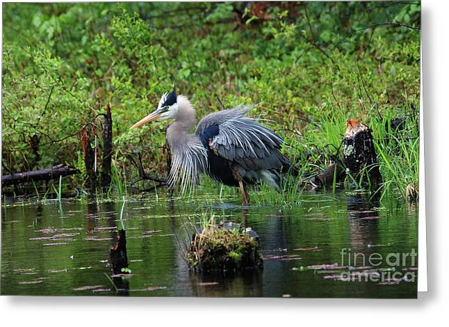 Heron In Beaver Pond Greeting Card