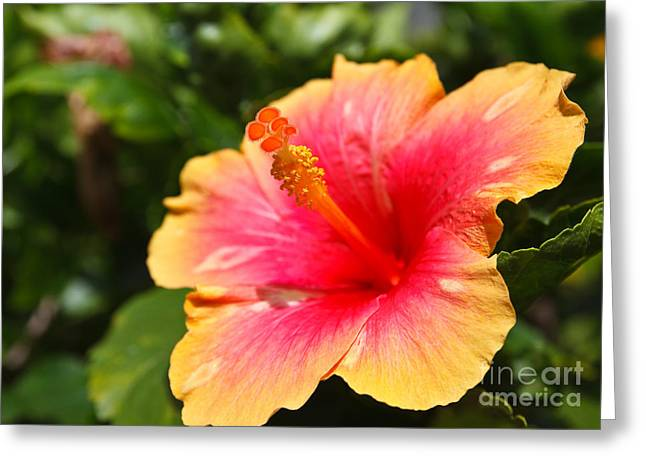 Hibiscus Flower Pollen Greeting Card