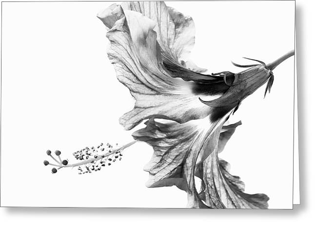 Hibiscus In Black And White Greeting Card