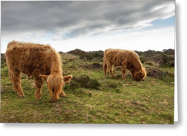 Highland Cattle Feeding At Baslow Edge Greeting Card