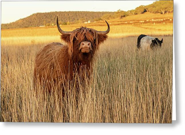 Highland Cows On The Farm Greeting Card