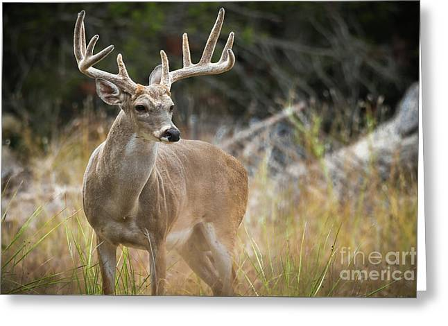 Hill Country Whitetail Greeting Card