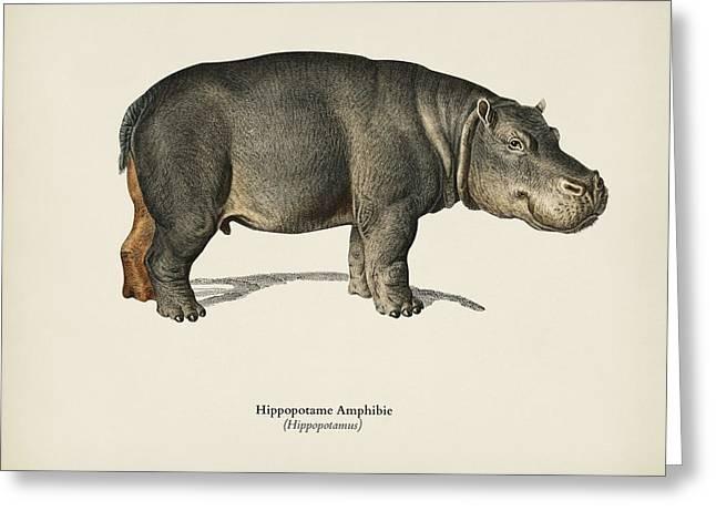 Hippopotamus  Hippopotame Amphibie Illustrated By Charles Dessalines D' Orbigny  1806-1876  Greeting Card