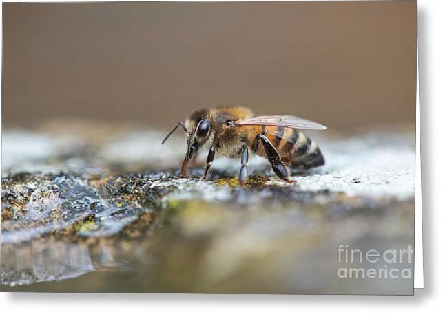 Honey Bee Drinking Water Greeting Card