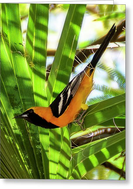Hooded Oriole V1912 Greeting Card