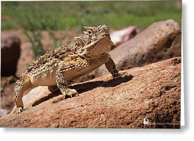 Horny Toad Greeting Card