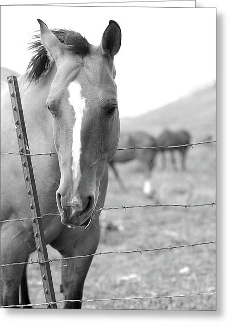 Horse Pasture  Greeting Card by Dana Klein
