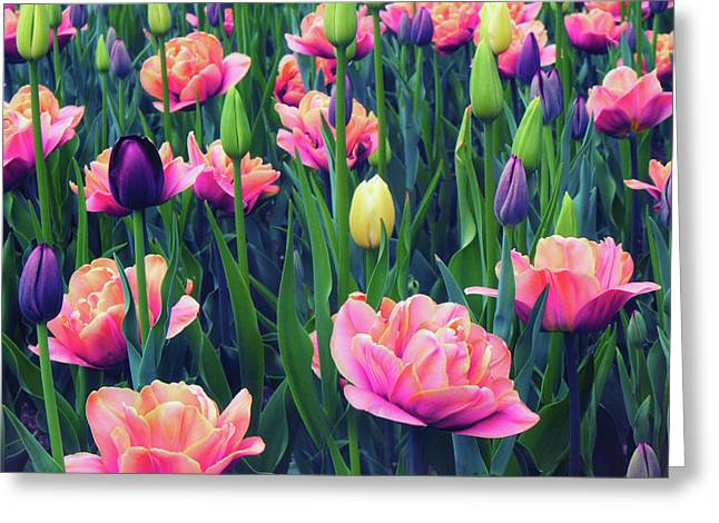 April Tulips Greeting Card