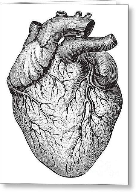 Human Heart  Vintage Illustrations From Greeting Card