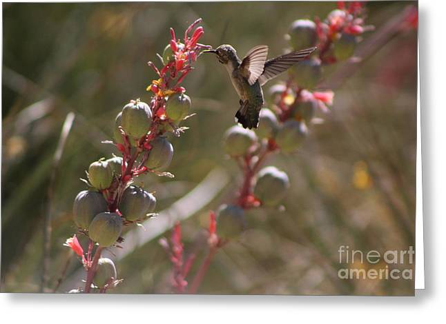Hummingbird Flying To Red Yucca 3 In 3 Greeting Card