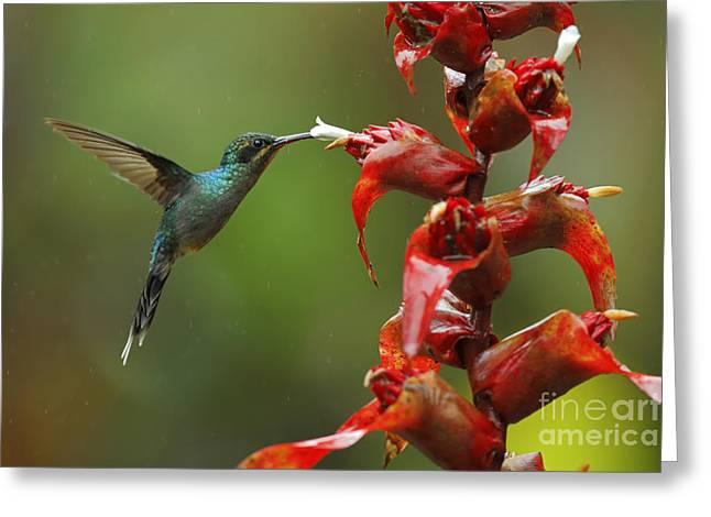 Hummingbird Green Hermit, Phaethornis Greeting Card