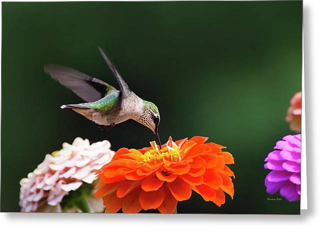 Hummingbird In Flight With Orange Zinnia Flower Greeting Card