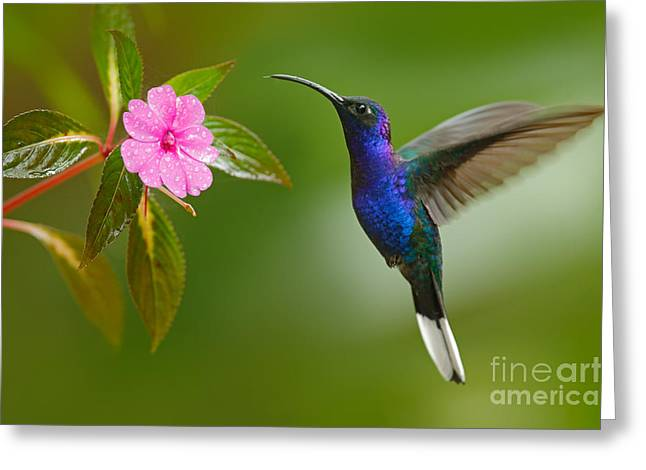 Hummingbird Violet Sabrewing Flying Greeting Card