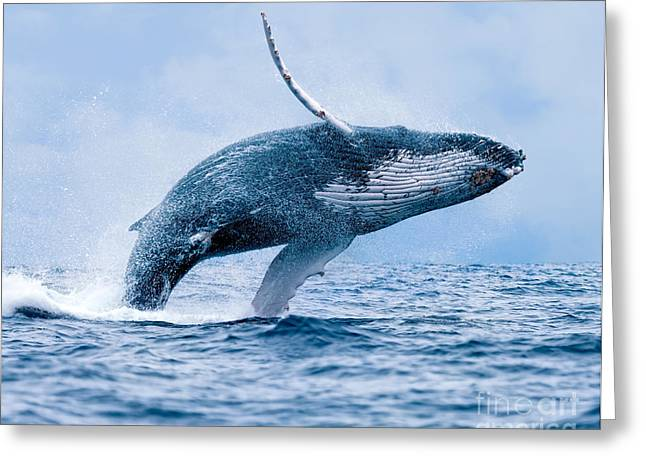 Humpback Whale Megaptera Novaeangliae Greeting Card by Paul S. Wolf