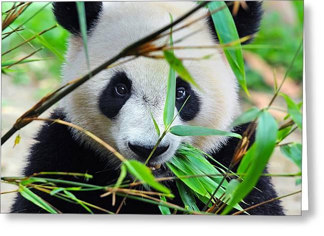 Hungry Giant Panda Bear Eating Bamboo Greeting Card