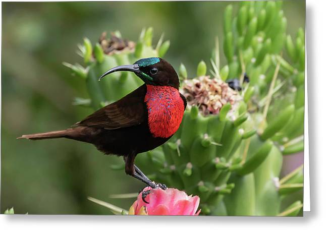 Hunter's Sunbird Greeting Card