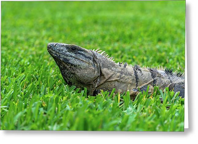 Iguana In Grass Greeting Card