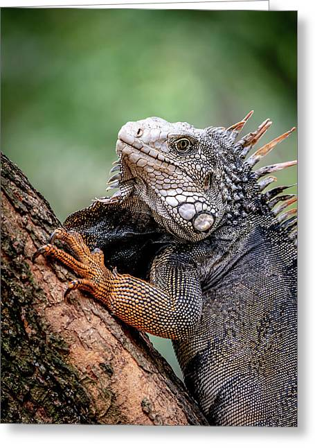 Greeting Card featuring the photograph Iguana's Portrait by Francisco Gomez