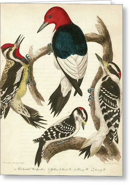 1. Red-headed Woodpecker. 2. Yellow-bellied Woodpecker. 3. Hairy Woodpecker. 4. Downy Woodpecker. Greeting Card