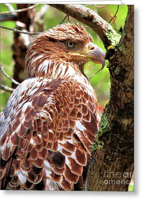 Immature Eagle Greeting Card