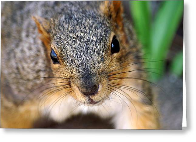 In Your Face Fox Squirrel Greeting Card