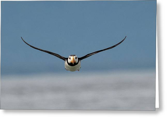 Incoming Puffin Greeting Card