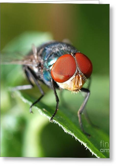 Insect Fly Macro On Leaf Greeting Card