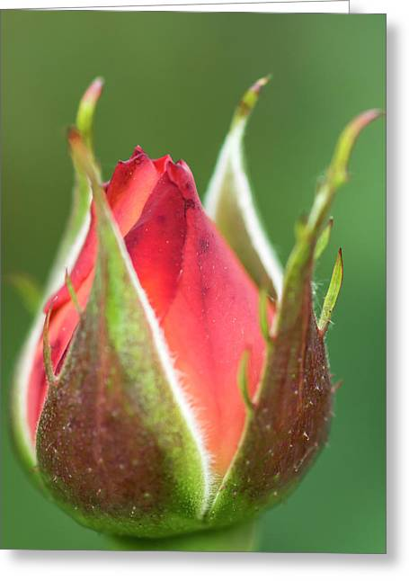 International Rose Test Garden Greeting Card by William Sutton