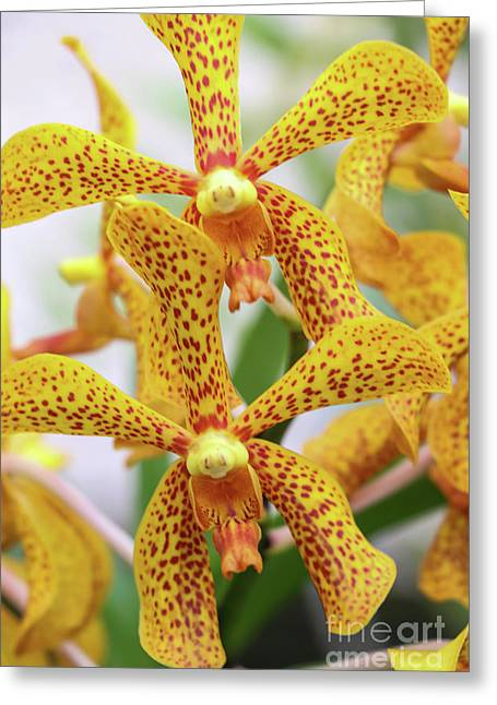 Intriguing Yellow Spider Orchids Greeting Card