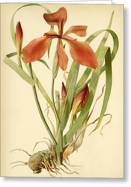 Iris Cuprea Copper Iris.  Greeting Card