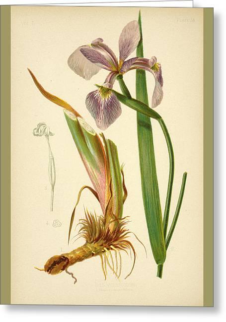 Iris Versicolor Blue Flag Greeting Card