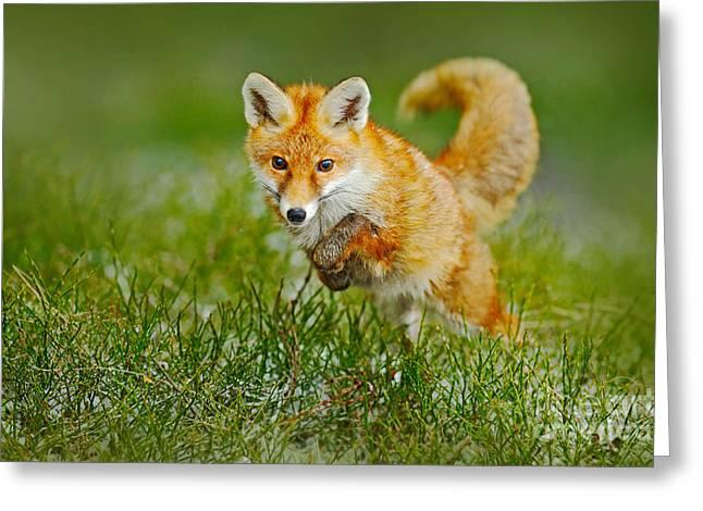 Jumping Red Fox, Vulpes Vulpes Greeting Card
