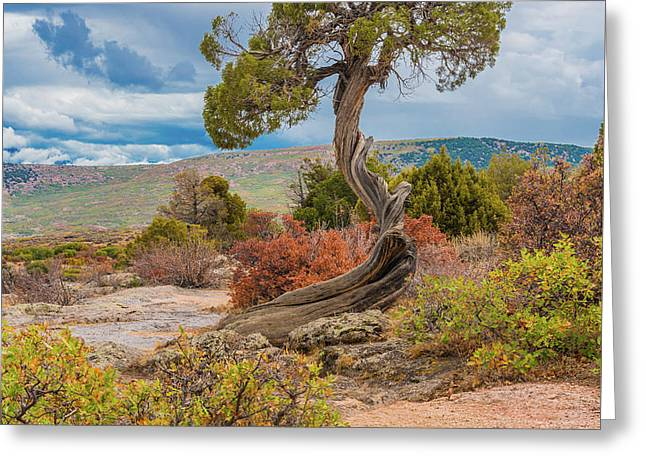Juniper At Dragon Point Greeting Card
