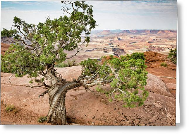 Juniper Over The Canyon Greeting Card