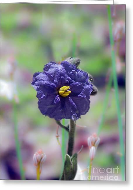 Greeting Card featuring the photograph Kangaroo Apple, Solanum Aviculare by Elaine Teague