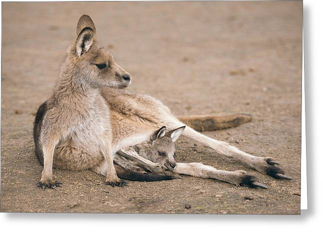 Greeting Card featuring the photograph Kangaroo Outside by Rob D Imagery