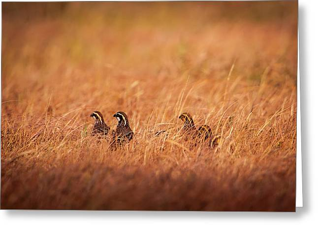 Greeting Card featuring the photograph Kansas Bobwhites by Jeff Phillippi