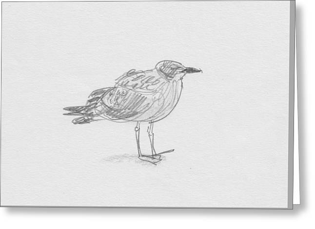 Kelp Gull Greeting Card