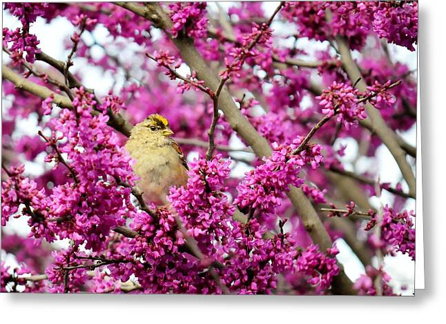King Of The Redbud - Golden-crowned Sparrow Greeting Card