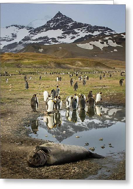 King Penguin Rookery Greeting Card by Tom Norring